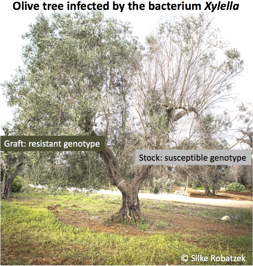 Olive tree infected with Xylella